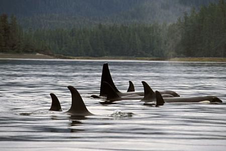 orcas single personals Orca, or the killer whale, is featured on our whales personal checks a fascinating black and white whale, shown under and above water, is surprisingly highly social as always, these checks.