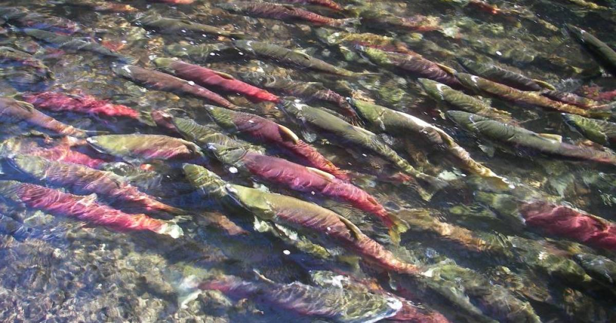 Fraser River sockeye salmon at lowest numbers since records began in