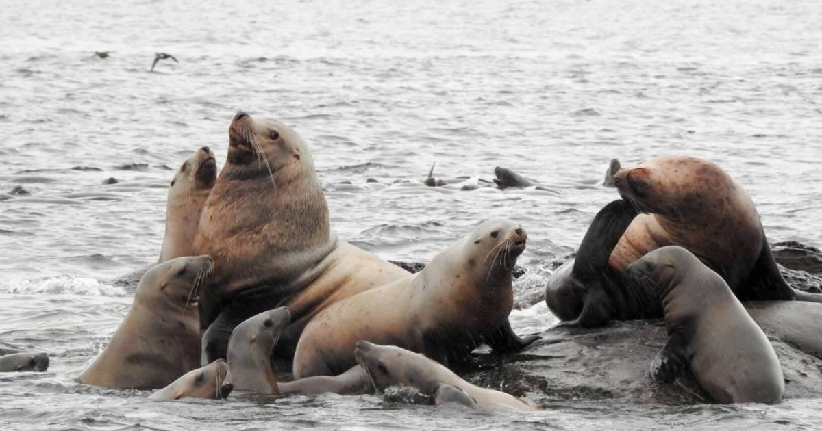 Dead sea lion found shot in head near roe herring fishery in Strait