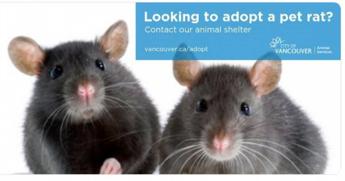City of Vancouver offers pet rats for $5 each