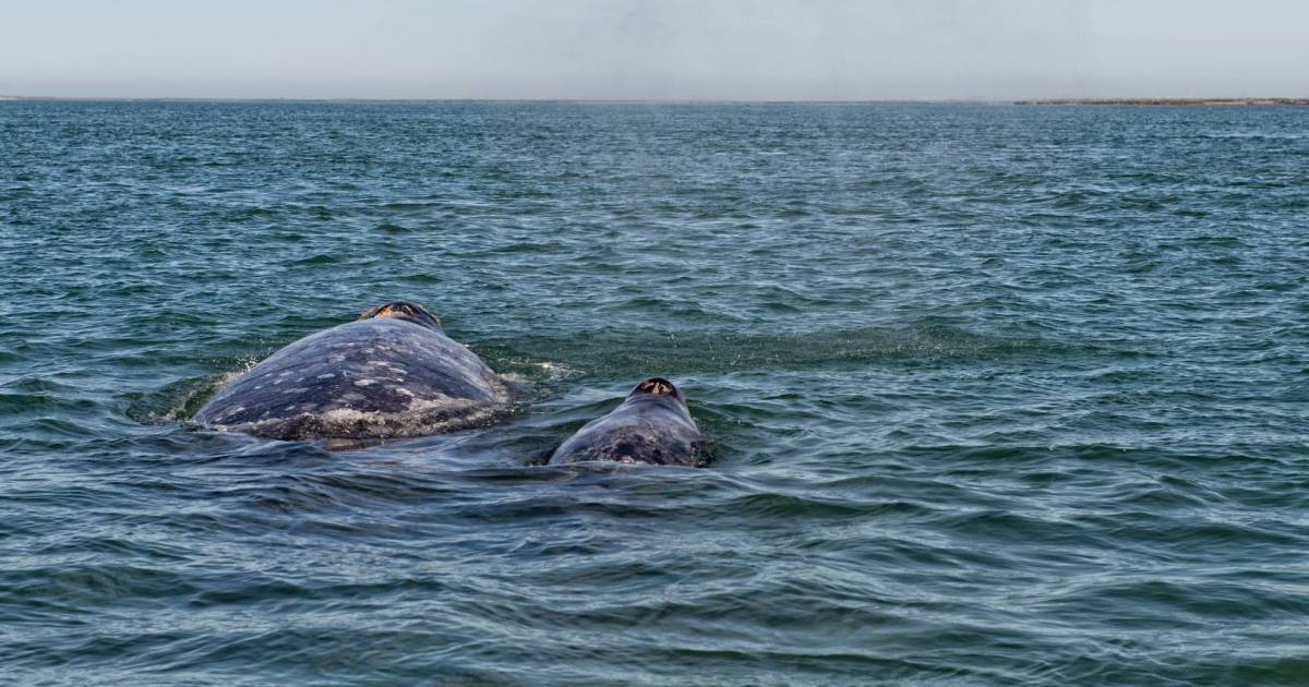 effort to save two grey whales beached at Boundary Bay in Delta is successful