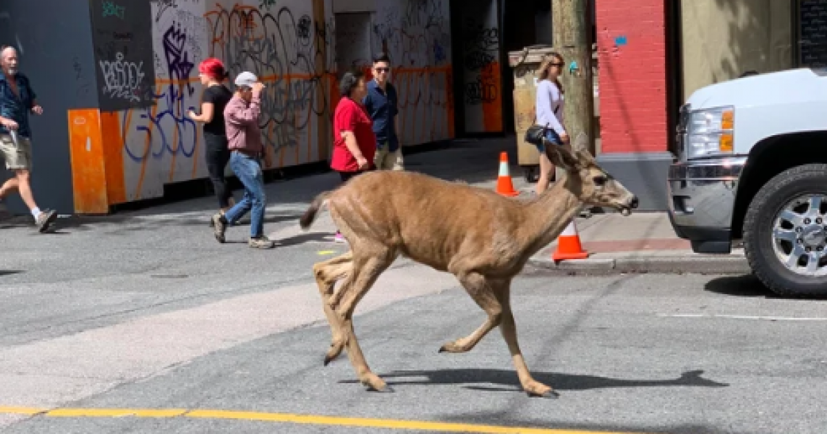 Deer runs through Strathcona, Chinatown, Downtown Eastside, and Gastown