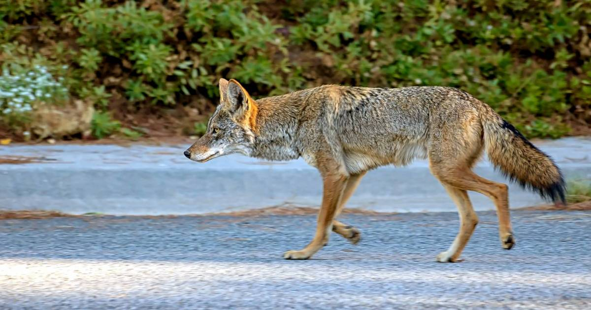 Coyotes and pets: Keep your cats indoors during denning season with the COVID-19 pandemic's empty streets | Georgia Straight Vancouver's News & Entertainment Weekly