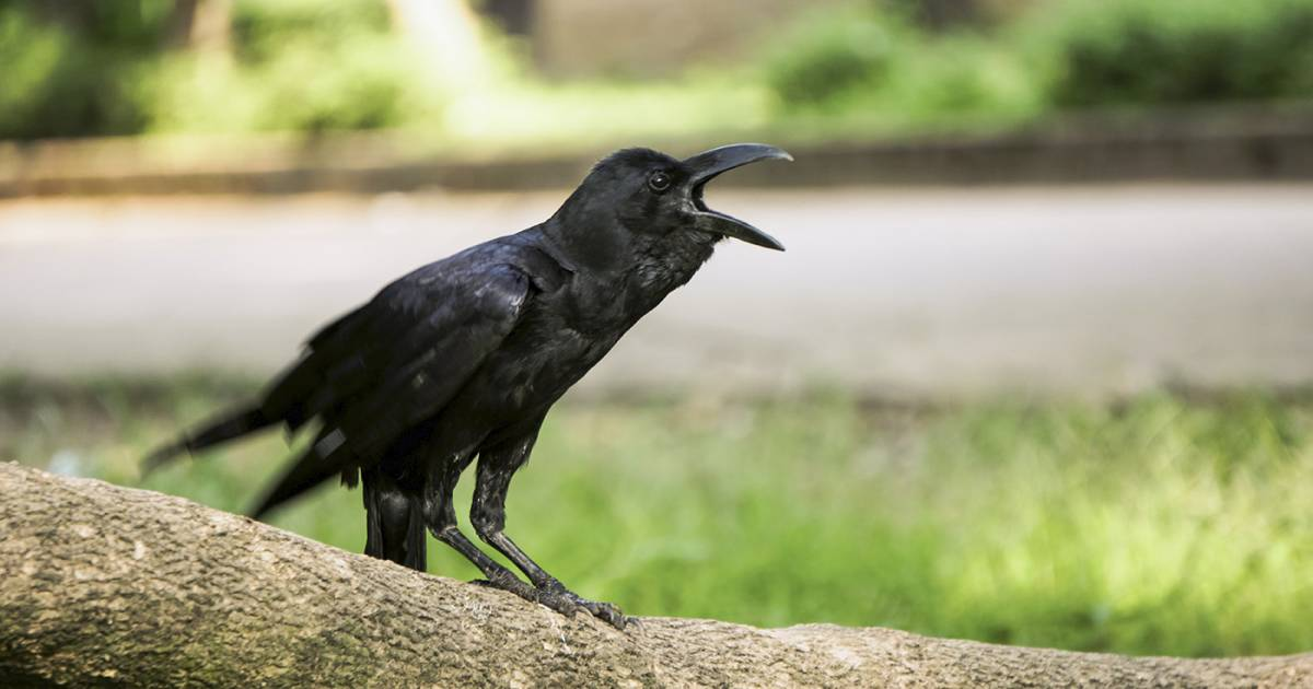 Time for a truce in our annual war with the Vancouver crows